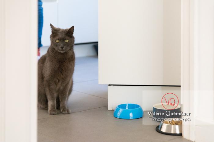 Chat domestique bleu (gris) attendant sa pâtée - Réf : VQA1-24-0883 (Q3)