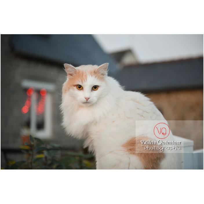 Portrait d'un chat blanc Angora Turc assit dehors / Bretagne / France - Réf : VQA1-24-1184 (Q3)