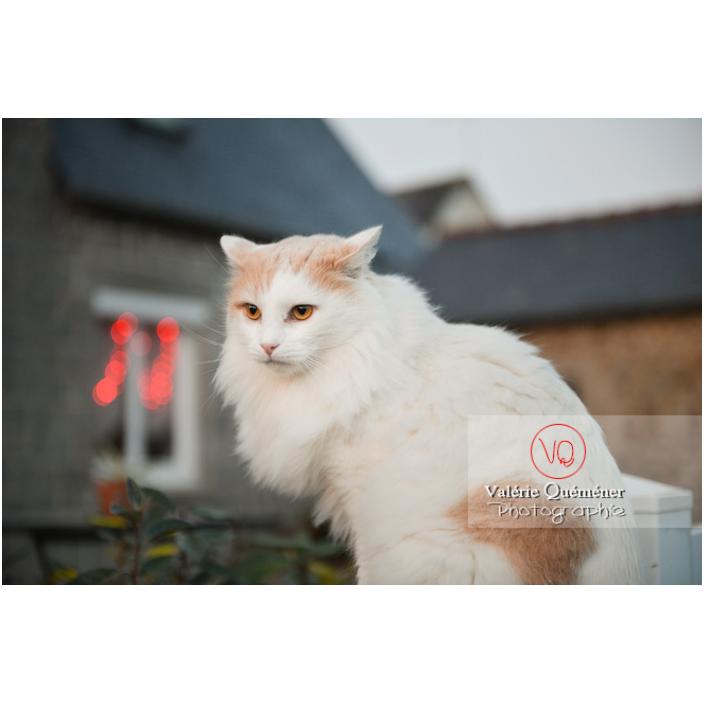 Portrait d'un chat blanc Angora Turc assit dehors / Bretagne / France - Réf : VQA1-24-1185 (Q3)