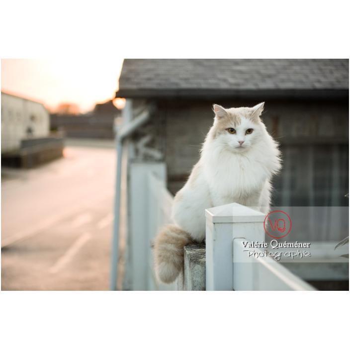 Chat blanc Angora Turc assit dehors sur un muret, le soir / Bretagne / France - Réf : VQA1-24-1187 (Q3)