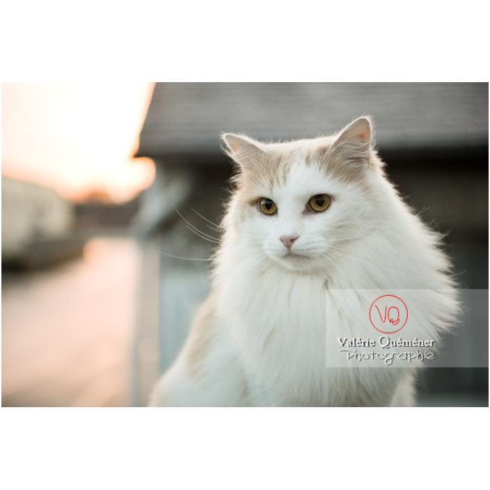 Portrait d'un chat blanc Angora Turc assit dehors le soir / Bretagne / France - Réf : VQA1-24-1188 (Q3)