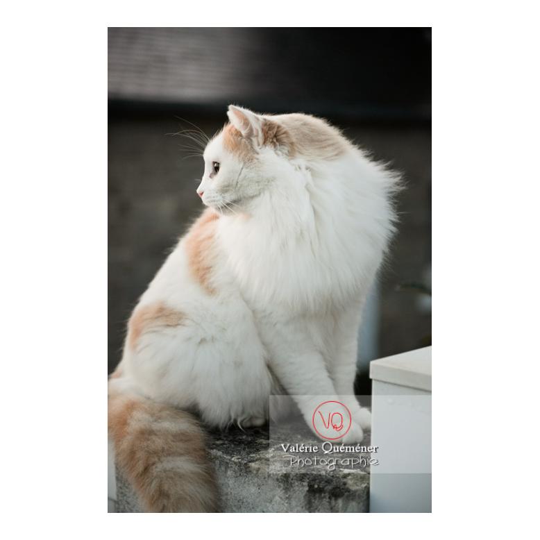 Chat blanc Angora Turc assit dehors de profil - Réf : VQA1-24-1189 (Q3)