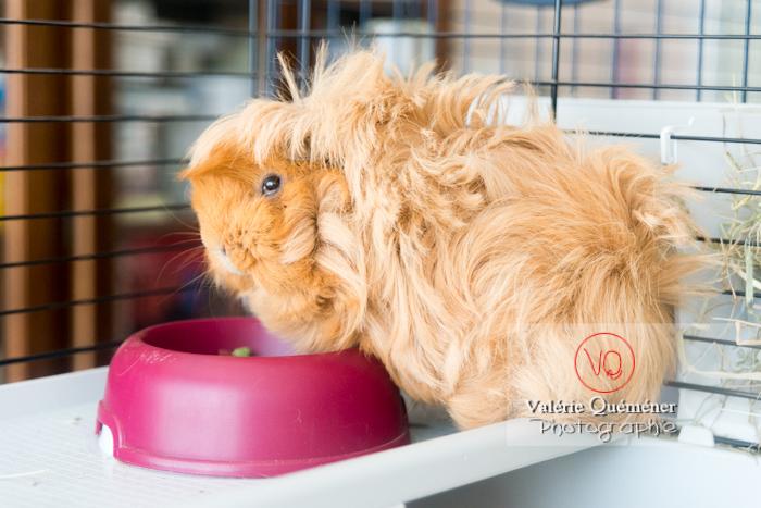 Cochon d'Inde ou cobaye domestique à poil long devant sa gamelle - Réf : VQA1-34-0020 (Q3)
