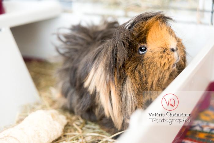 Cochon d'Inde ou cobaye domestique à poil long - Réf : VQA1-34-0029 (Q3)