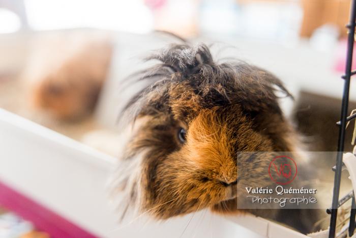 Portrait cochon d'Inde ou cobaye domestique à poil long - Réf : VQA1-34-0042 (Q3)