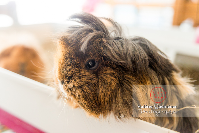 Portrait cochon d'Inde ou cobaye domestique à poil long - Réf : VQA1-34-0043 (Q3)