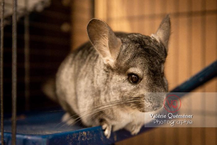 Chinchilla dans sa cage - Réf : VQA1-34-0051 (Q3)