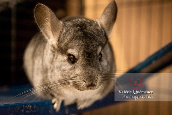 Chinchilla dans sa cage - Réf : VQA1-34-0052 (Q3)