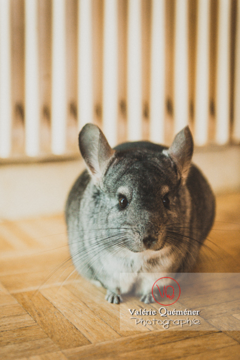 Chinchilla - Réf : VQA1-34-0064 (Q3)