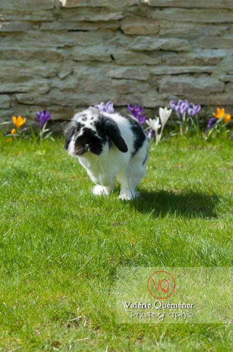Lapin bélier noir & blanc - Réf : VQA1-37-0011 (Q2)
