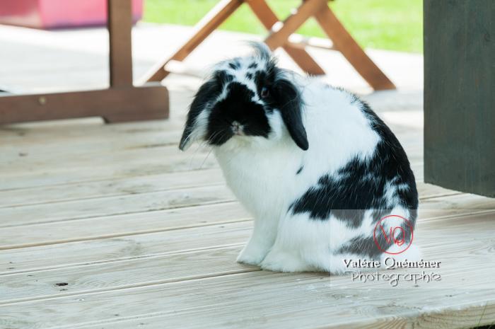 Lapin bélier noir & blanc - Réf : VQA1-37-0016 (Q2)