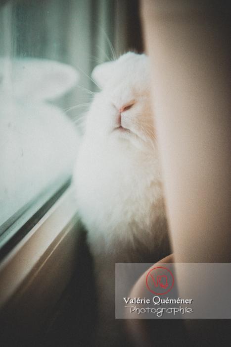 Portrait lapin bélier blanc contre une fenêtre - Réf :VQA1-37-0039 (Q3)