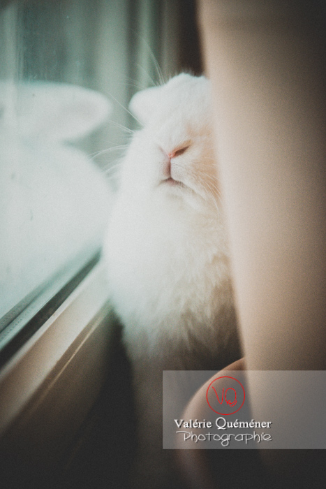 Portrait d'un lapin bélier blanc de face contre une fenêtre - Réf : VQA1-37-0039 (Q3)