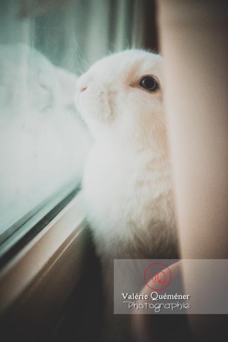Portrait d'un lapin bélier blanc contre une fenêtre - Réf : VQA1-37-0040 (Q3)
