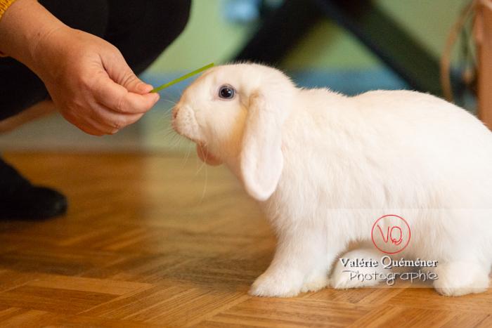 Portrait d'un lapin bélier blanc de profil - Réf : VQA1-37-0048 (Q3)