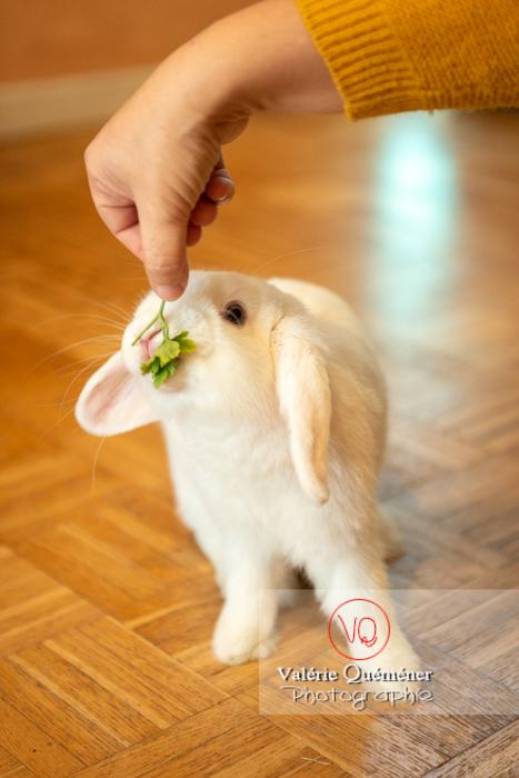 Lapin bélier blanc à qui l'on donne un brin de persil - Réf : VQA1-37-0052 (Q3)