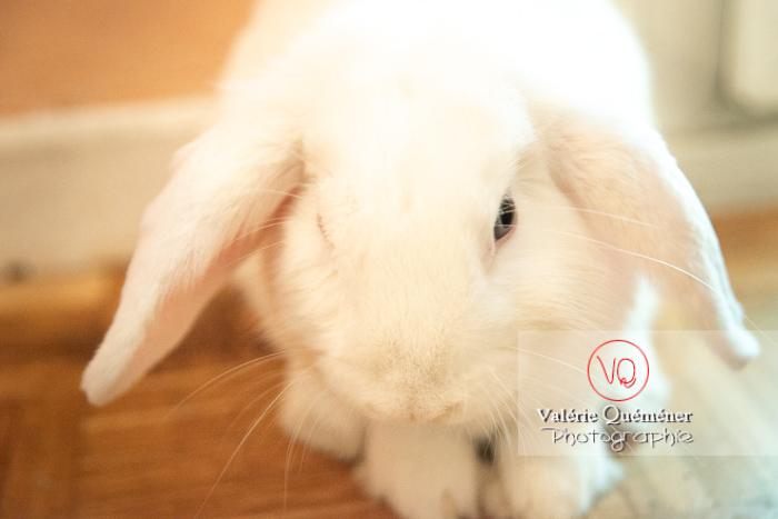 Portrait d'un lapin bélier blanc - Réf : VQA1-37-0089 (Q3)