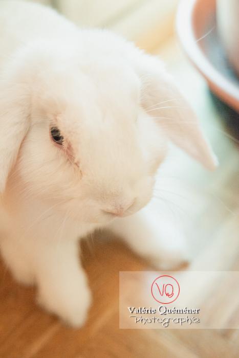 Portrait d'un lapin bélier blanc - Réf : VQA1-37-0093-2 (Q3)