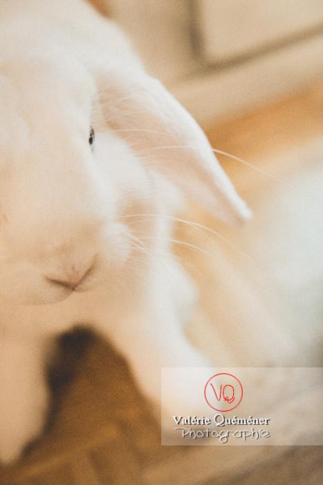 Portrait d'un lapin bélier blanc - Réf : VQA1-37-0094-2 (Q3)