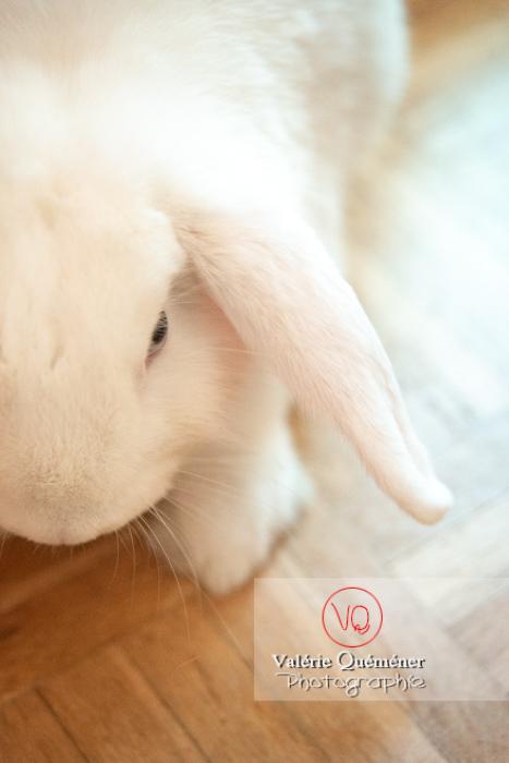 Portrait d'un lapin bélier blanc - Réf : VQA1-37-0096 (Q3)