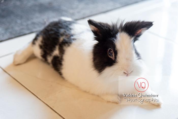 Lapin nain noir et blanc allongé - Réf : VQA1-37-0137 (Q3)
