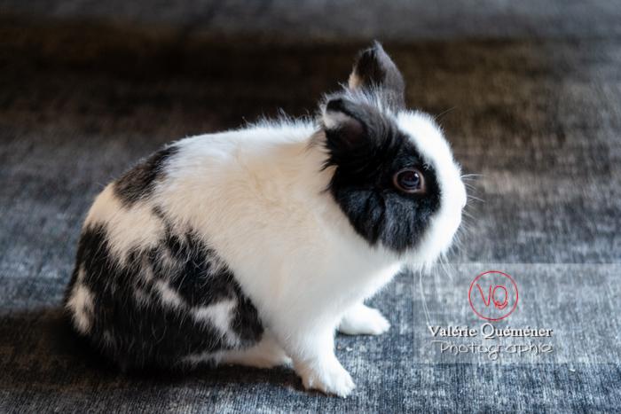 Lapin nain noir et blanc de profil - Réf : VQA1-37-0146 (Q3)