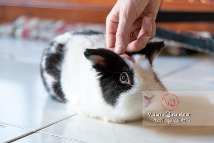 Caresse d'un lapin nain noir et blanc - Réf : VQA1-37-0149 (Q3)