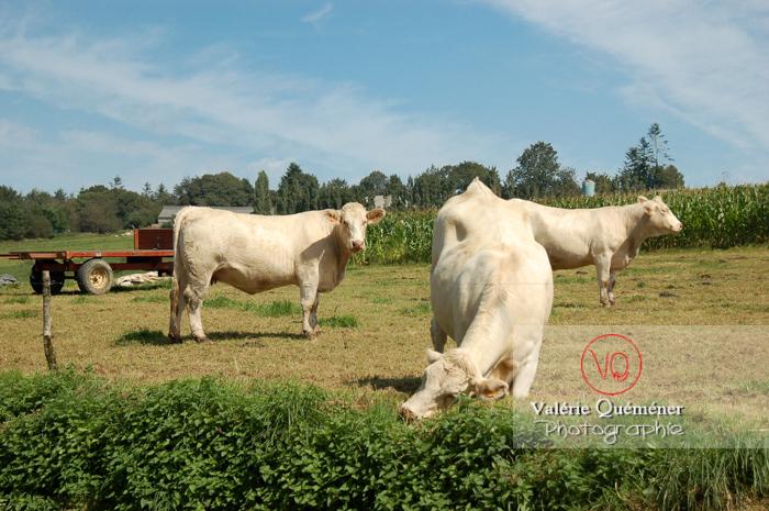 Vaches de race charolaise - Réf : VQA1-45-0010 (Q1)