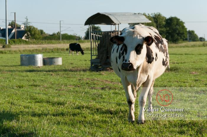 Vache laitière de race Prim' Holstein / Bretagne - Réf : VQA1-45-0012 (Q2)