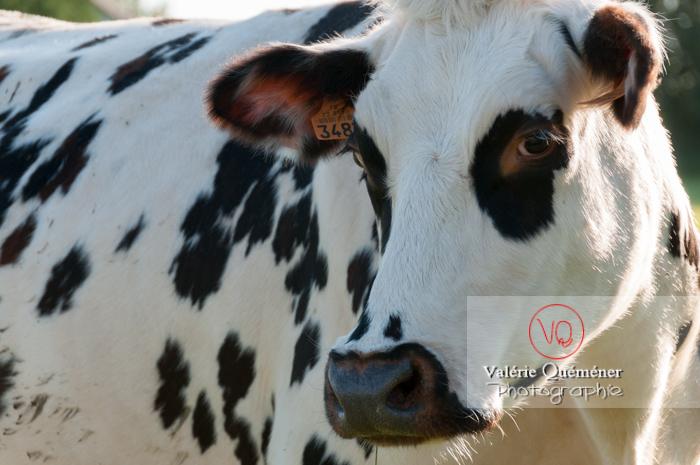 Vache de race Prim'Holstein - réf : VQA1-45-0013 (Q2)