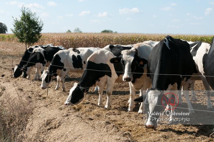Elevage de vaches laitières de race Prim' Holstein / Haute-Garonne - Réf : VQA1-45-0017 (Q2)