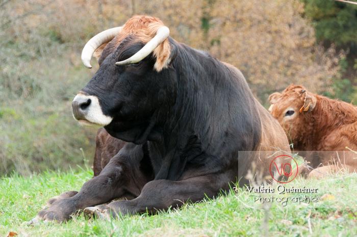 Taureau / Ariège - Réf : VQA1-45-0018 (Q2)