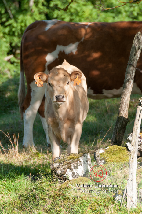 Veau de race ferrandaise / Puy-de-Dôme / Auvergne - Réf : VQA1-45-0020 (Q2)