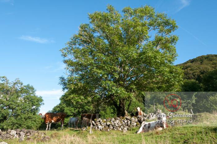 Veaux et vaches de race ferrandaise / Puy-de-Dôme / Auvergne - Réf : VQA1-45-0021 (Q2)