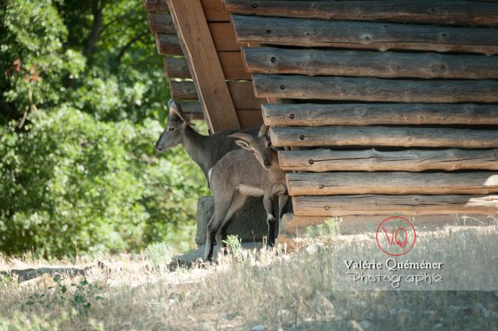 Bharal de l'hymalaya / Zoo de Montpellier - Réf : VQA1-46-0016 (Q2)