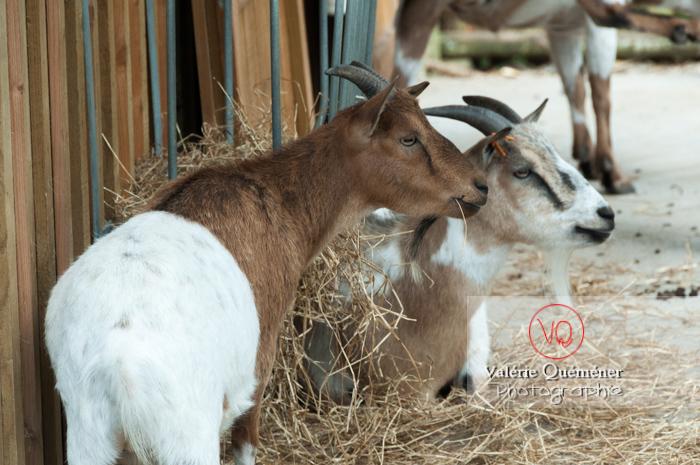 Chèvres / Zoo de trégomeur / Bretagne - Réf : VQA1-46-0017 (Q2)