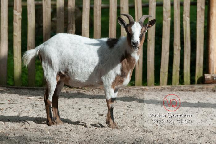 Chèvre / Zoo de trégomeur / Bretagne - Réf : VQA1-46-0018 (Q2)