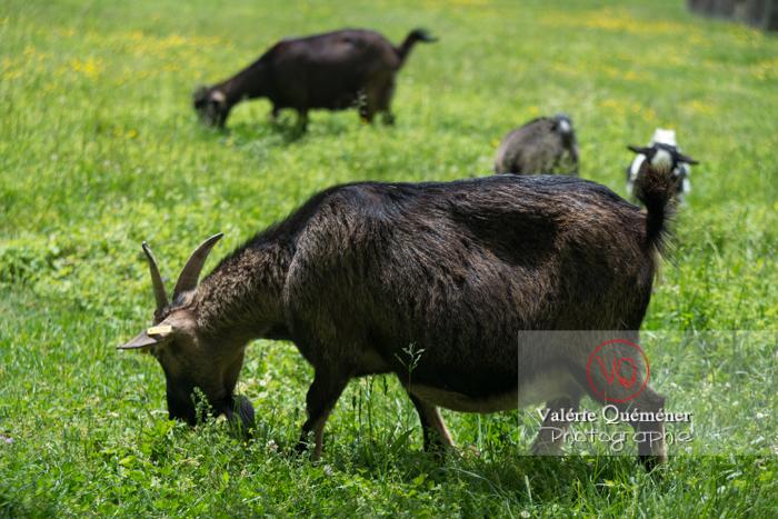 Chèvre noire / Jardins des Martels à Giroussens / Tarn - Réf : VQA1-46-0020 (Q3)