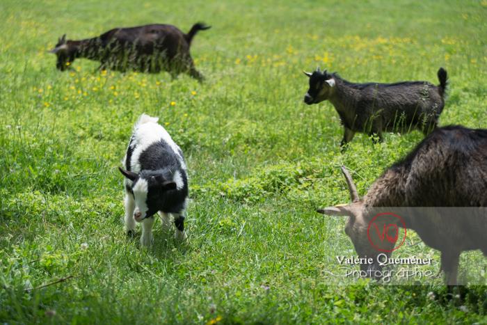 Chèvres noires et chevreau bicolore / Jardins des Martels à Giroussens / Tarn - Réf : VQA1-46-0021 (Q3)