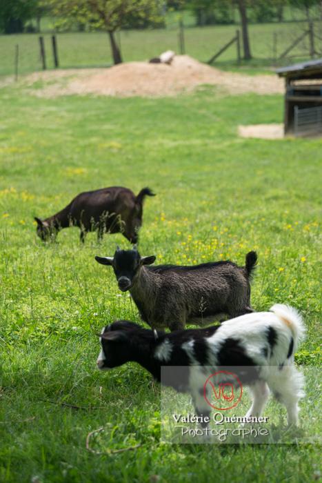 Chevreaux noir et bicolore / Jardins des Martels à Giroussens / Tarn - Réf : VQA1-46-0022 (Q3)