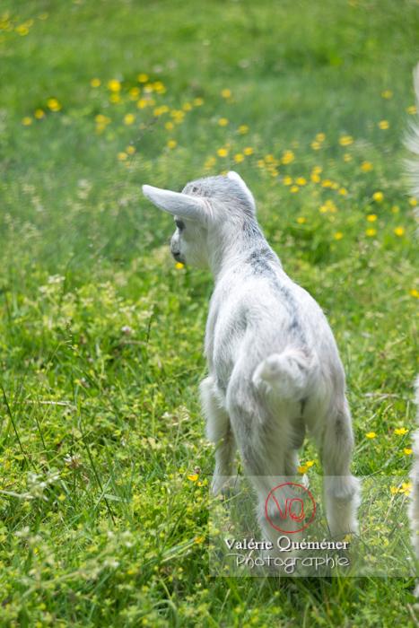 Chevreau blanc / Jardins des Martels à Giroussens / Tarn - Réf : VQA1-46-0023 (Q3)