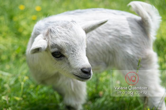 Chevreau blanc / Jardins des Martels à Giroussens / Tarn - Réf : VQA1-46-0025 (Q3)