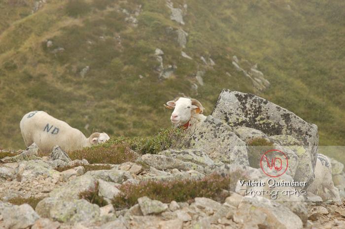 Moutons de race barégeoise dans les Pyrénées - Réf : VQA1-47-0010 (Q1)