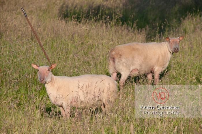 Moutons tondus - Réf : VQA1-47-0015 (Q2)