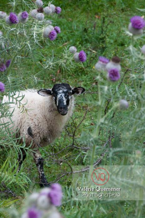 Mouton de race grivette en Auvergne - Réf : VQA1-47-0016 (Q2)