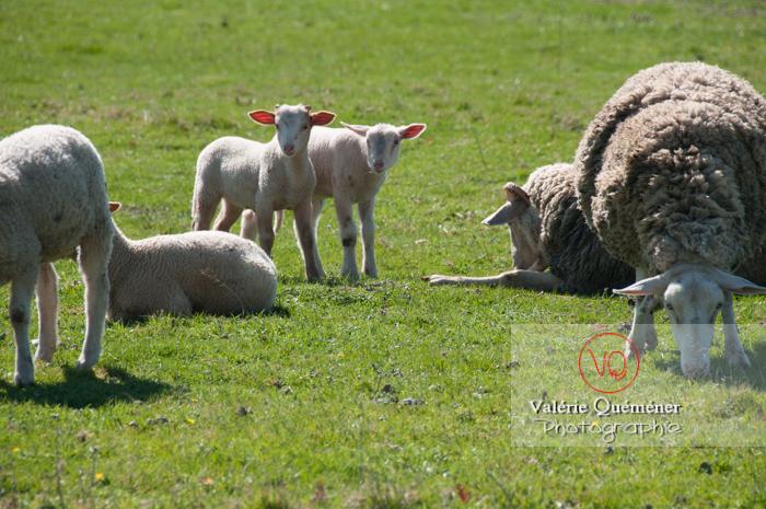 Jeunes agneaux blancs - Réf : VQA1-47-0017 (Q2)