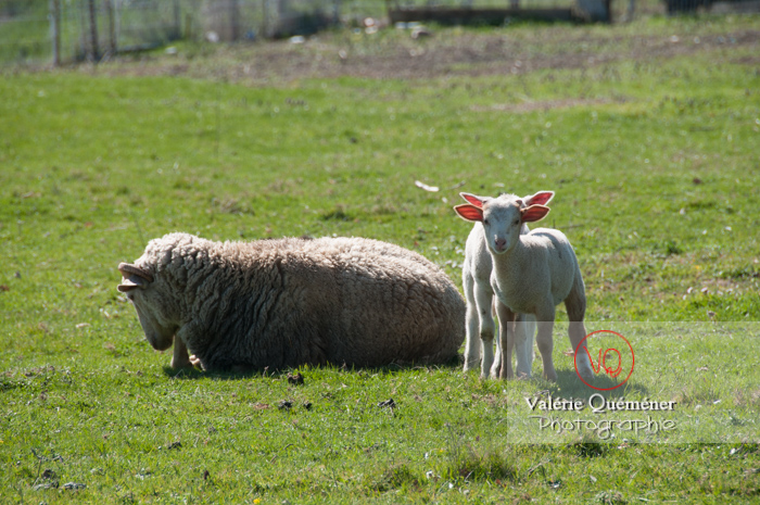 Jeunes agneaux blancs - Réf : VQA1-47-0018 (Q2)