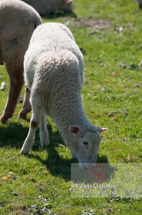 Agneau blanc - Réf : VQA1-47-0019 (Q2)