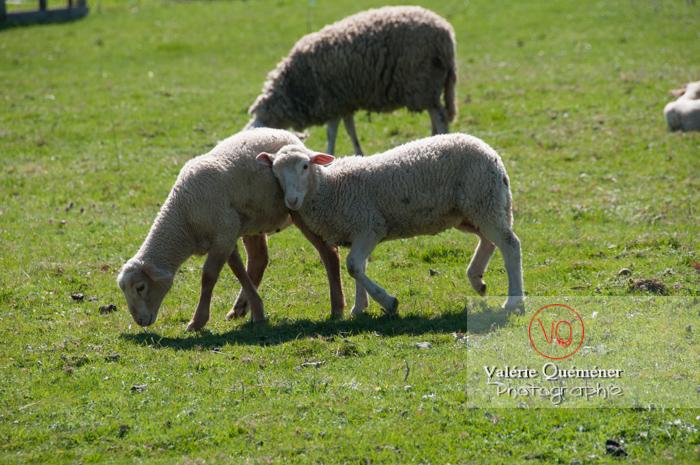 Agneaux blancs - Réf : VQA1-47-0024 (Q2)