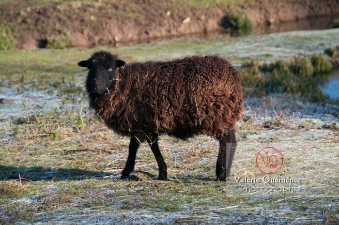 Mouton d'Ouessant en hiver - Réf : VQA1-47-0027 (Q2)